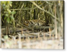 A Female Tiger Rests In The Undergrowth Acrylic Print by Tim Laman