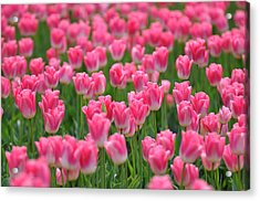 Acrylic Print featuring the photograph A Field Of Pink Tulips by Ronda Broatch
