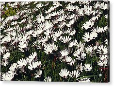A Field Of Prolofic White Daisy Flowers Acrylic Print by Jason Edwards