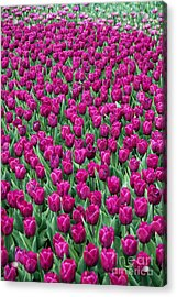 Acrylic Print featuring the photograph A Field Of Tulips by Eva Kaufman