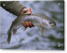 A Fisherman Holding A Rainbow Trout Acrylic Print