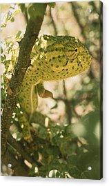 A Flap-necked Chameleon Well Acrylic Print by Jason Edwards