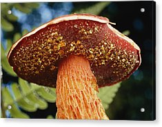 A Frosts Bolete Mushroom With Yellow Acrylic Print by Darlyne A. Murawski
