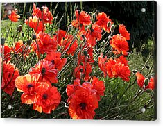 A Gathering Of Poppies Acrylic Print