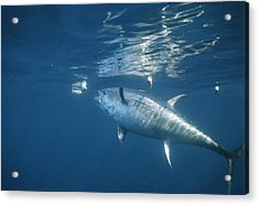 A Giant Bluefin Tuna Feeds Acrylic Print by Brian J. Skerry