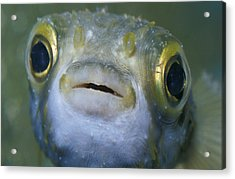 A Globe Fish Also Known As A Puffer Acrylic Print by Jason Edwards