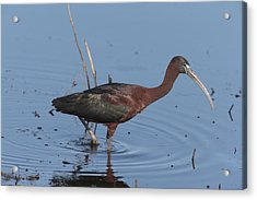 A Glossy Ibis Wades For Food In A Salt Acrylic Print by George Grall