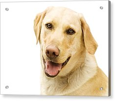 A Golden Labrador Acrylic Print by Chris Knorr
