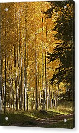 A Golden Trail Acrylic Print