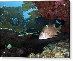 A Gray Snapper Swims Acrylic Print by Terry Moore