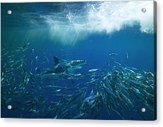 A Great White Shark Swims Close Acrylic Print by Mauricio Handler