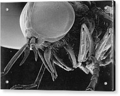 A Greenhead Fly Tabanus Nigrovittatus Acrylic Print by Darlyne A. Murawski
