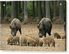 A Group Of Young Wild Boars Nose Acrylic Print by Norbert Rosing
