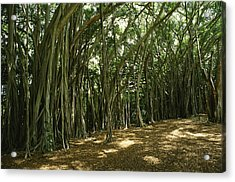 A Grove Of Banyan Trees Send Airborn Acrylic Print by Paul Damien