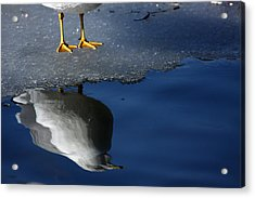 A Gull Reflects Acrylic Print by Karol Livote