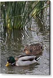 A Handsome Couple Acrylic Print by Frank Wickham