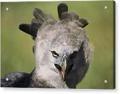 A Harpy Eagle Portrait Acrylic Print by Ed George