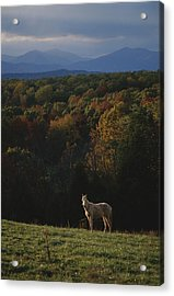 A Horse Stands On A Hill Overlooking Acrylic Print by Sam Kittner