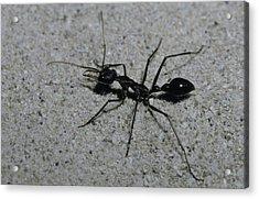 A Huge Bull Dog Ant Marches Acrylic Print by Jason Edwards