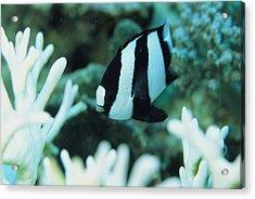 A Humbug Dascyllus Fish Swims Acrylic Print by Tim Laman