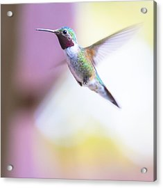 A Humming Bird In The Rocky Mountains Acrylic Print by Ellie Teramoto
