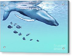 A Humpback Whale Dives Into The Blue Acrylic Print by Corey Ford