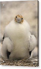 A Juvenile Great Frigatebird, Fregata Acrylic Print by Ralph Lee Hopkins