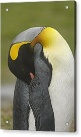 A King Penguin With Bill Tucked Acrylic Print by Ralph Lee Hopkins