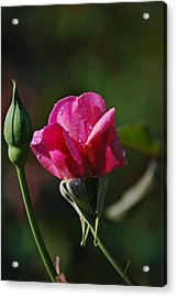 A Knockout Rose Acrylic Print by Skip Willits