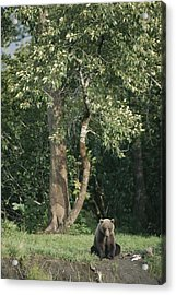 A Kodiak Brown Bear On The Bank Acrylic Print by George F. Mobley