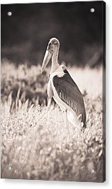 A Large Bird Stands In The Grass Acrylic Print by David DuChemin