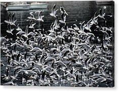 A Large Group Of Black-headed Gulls Acrylic Print by Tim Laman