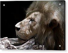 A Lions Portrait Acrylic Print by Ralf Kaiser