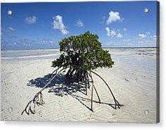 A Lone Mangrove Tree On A Sand Spit Acrylic Print by Scott S. Warren
