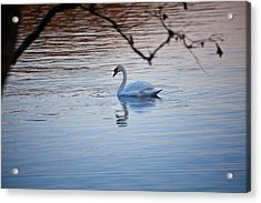 A Lonely Swans Late Afternoon Acrylic Print by Karol Livote