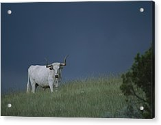 A Longhorn Steer, One Member Of A Small Acrylic Print by Michael Melford