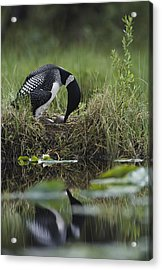 A Loon Raises Itself To Turn Its Eggs Acrylic Print by Michael S. Quinton