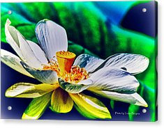 Acrylic Print featuring the photograph A Lotus Brightly by Travis Burgess