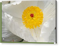 A Macro Of A White Mexican Poppy Flower Acrylic Print by Jennifer Holcombe