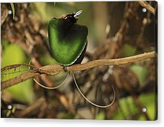 A Magnificent Bird Of Paradise Male Acrylic Print by Tim Laman