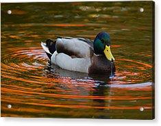 A Male Mallard Duck Drinking.  Fall Acrylic Print by Darlyne A. Murawski