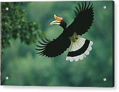 A Male Rhinoceros Hornbill Delivers Acrylic Print by Tim Laman