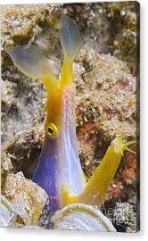 A Male Ribbon Eel Peering Acrylic Print by Steve Jones
