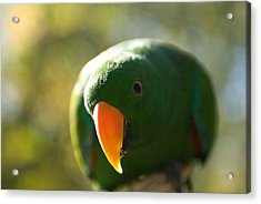A Male Solomon Island Eclectus Parrot Acrylic Print by Joel Sartore
