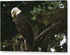 A Mature Bald Eagle Is Perched Atop Acrylic Print by Raymond Gehman