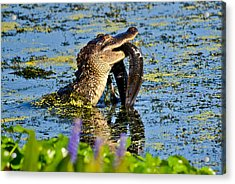 A Meal Fit For A Gator Acrylic Print by Julio n Brenda JnB