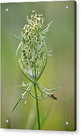 Acrylic Print featuring the photograph A Meal Of Lace by JD Grimes