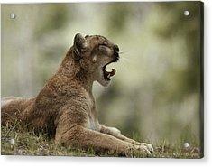 A Mountain Lion, Felis Concolor, Curls Acrylic Print by Jim And Jamie Dutcher