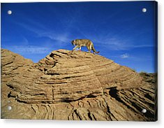 A Mountain Lions Walks Across This Acrylic Print by Norbert Rosing