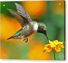A Nice Hummer Acrylic Print by Jessie Dickson